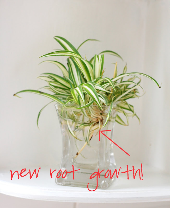Growing A Spider Plant: Flores Del Sol: Thursday Morning: Spider Plant Propagation