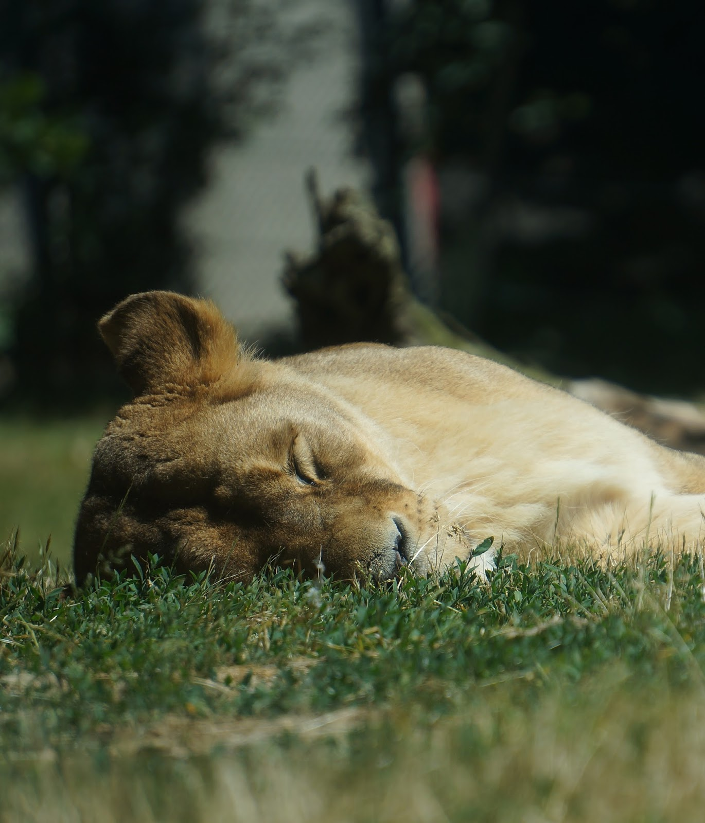 Picture of a lioness sleeping.