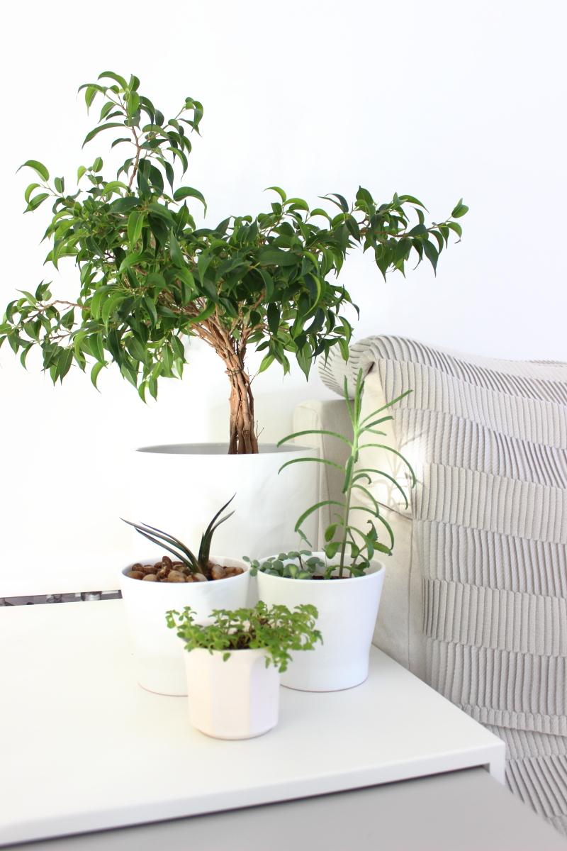 Zimmerpflanzen, Deko in grün, Sukkulent, Mini Benjamino Baum, Frühling, Frühlingsdekoration, white living, urban jungle