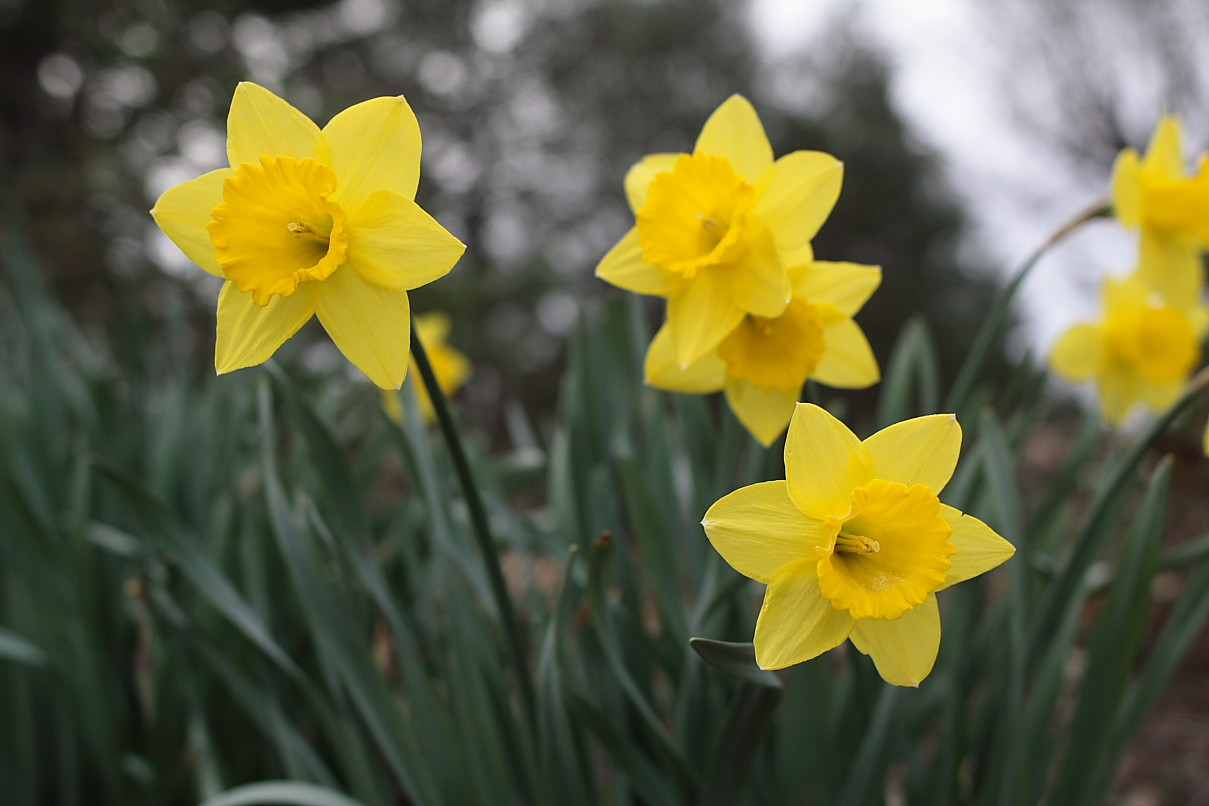 download daffodils 1920x1080 wallpaper - photo #27