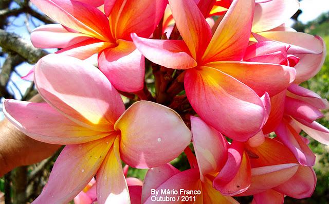d3884b7c6b JASMIM-MANGA - ( Plumeria rubra ) - Detalhe das Flores