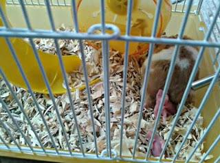 Cara Merawat Bayi Hamster Yang Baru Lahir