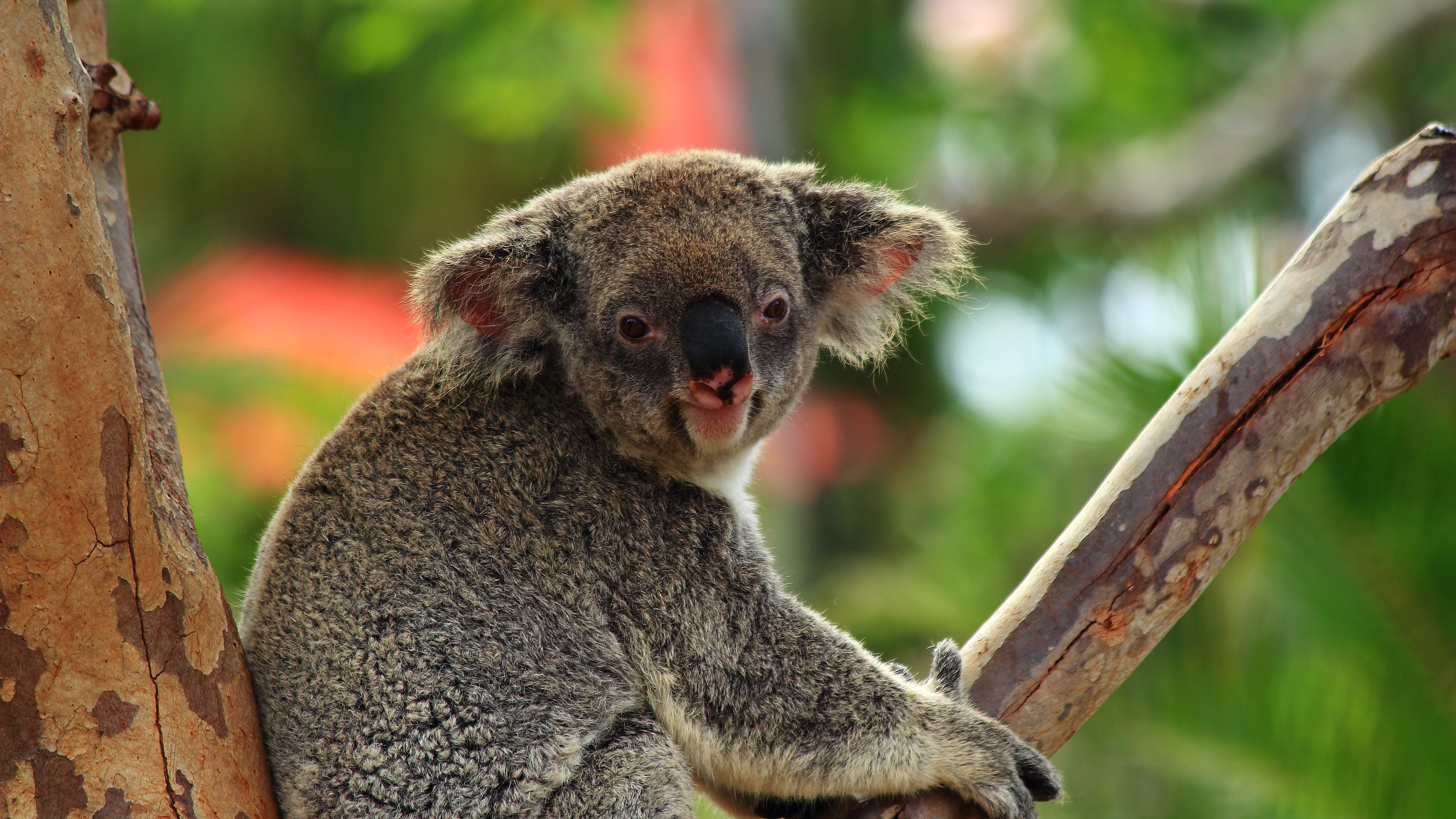 funny koala bear pictures