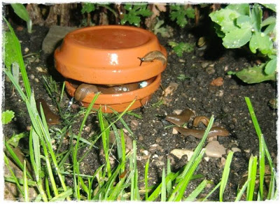 Gartenblog Topfgartenwelt Schädlinge: Schneckenfalle aus Ton gefüllt mit Schneckenkorn kann gezielt im Garten aufgestellt werden