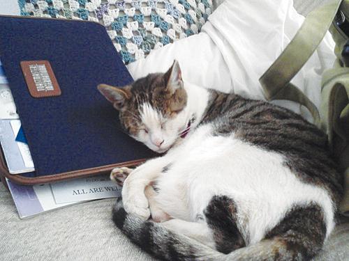 Elizabeth the cat sleeping on Toastmasters portfolio