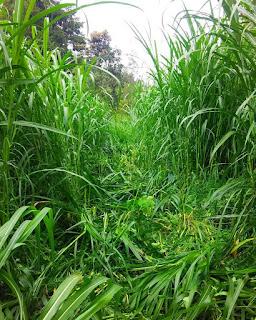 Khasiat Manfaat rumput gajah untuk kesehatan
