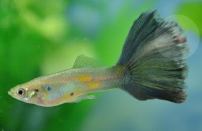 tail rot guppy