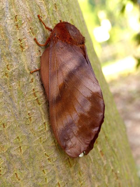 Gonometa nysa female