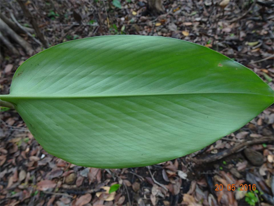 Curcuma xanthella