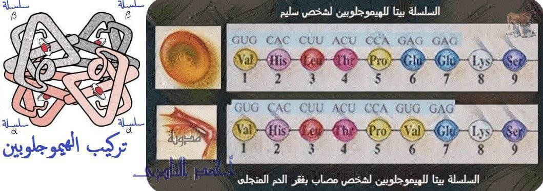 طفرة - الهيموجلوبين - أنيميا الخلايا المنجلية - الهندسة الوراثية - نقل جينات - تقنيات التكنولوجيا الجزيئية ( الهندسة الوراثية ) - تقنية تهجين الحمض النووى - الثالث الثانوى - أحياء الثانوية العامة