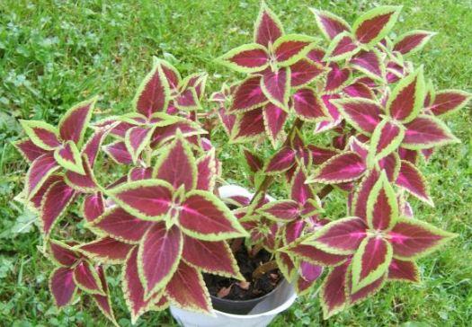 Coleus Blumei Labiatae house plant potted