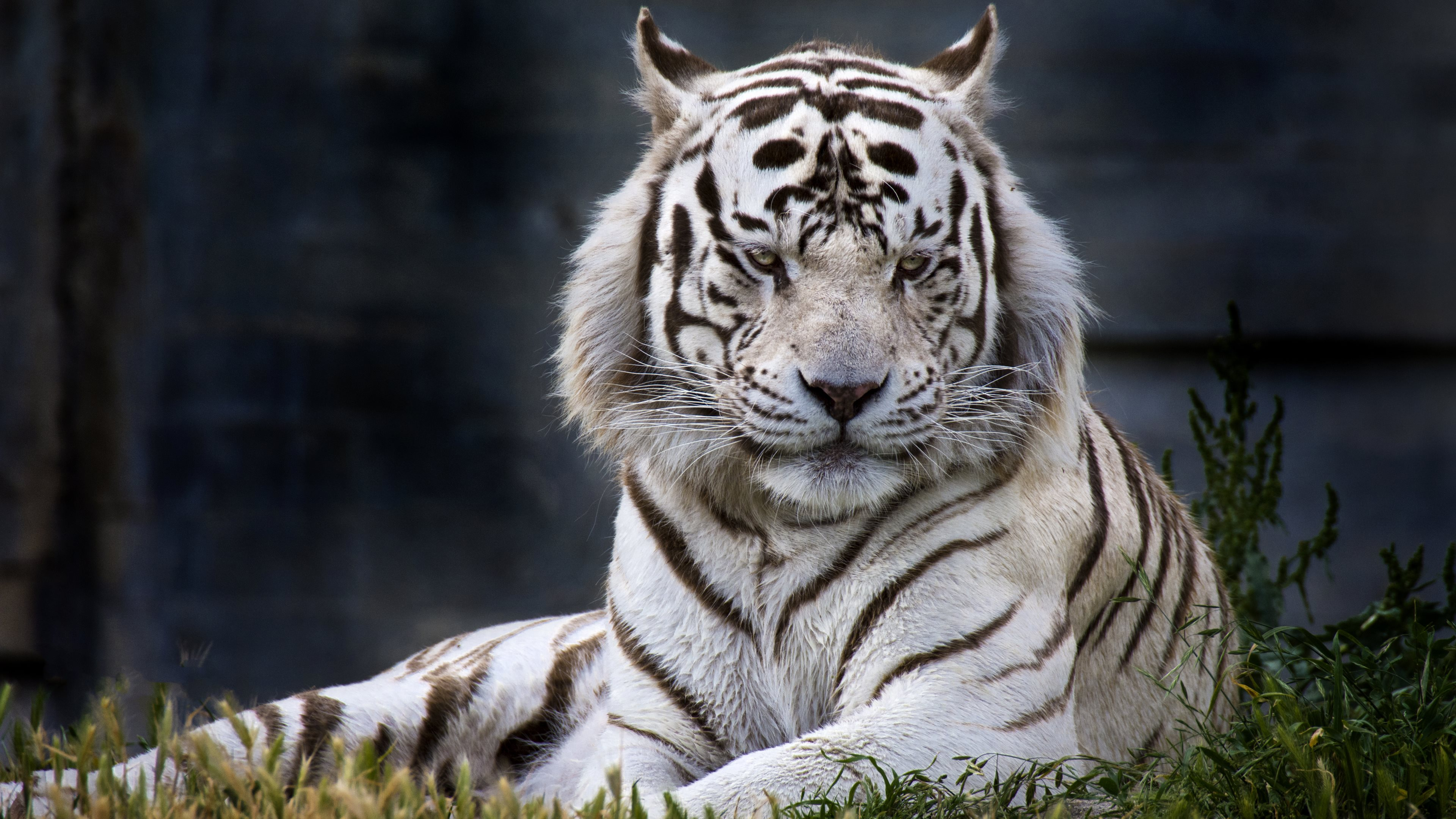 at zoo madrid a white tiger hd wallpapers 4k