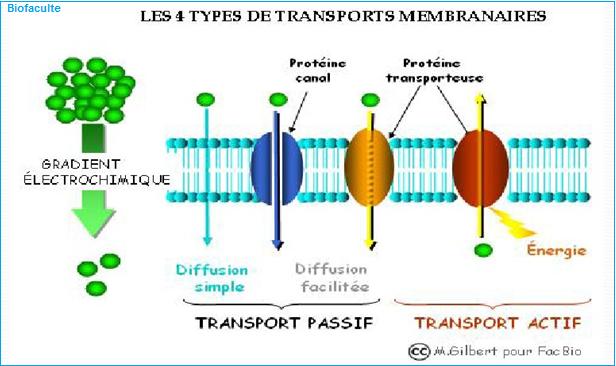 Transport membranaire
