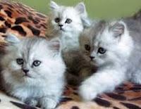 Jenis - jenis Kucing Ras Anggora