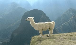Lama Hayvan Özellikleri