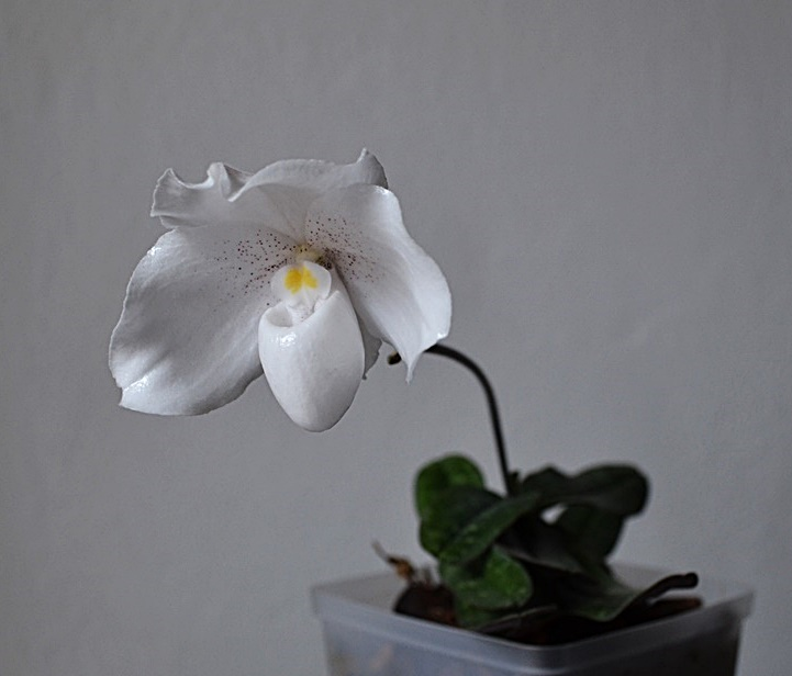 Grow And Care Paphiopedilum Niveum Orchid The Snow White