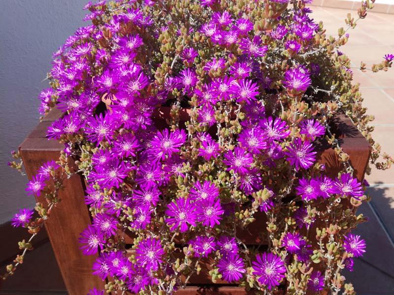 Delosperma in vaso in fiore