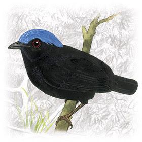 Uirapuru-de-Chapéu-Azul