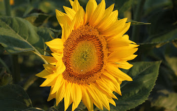 Wallpaper: Summer Flower - Sunflower
