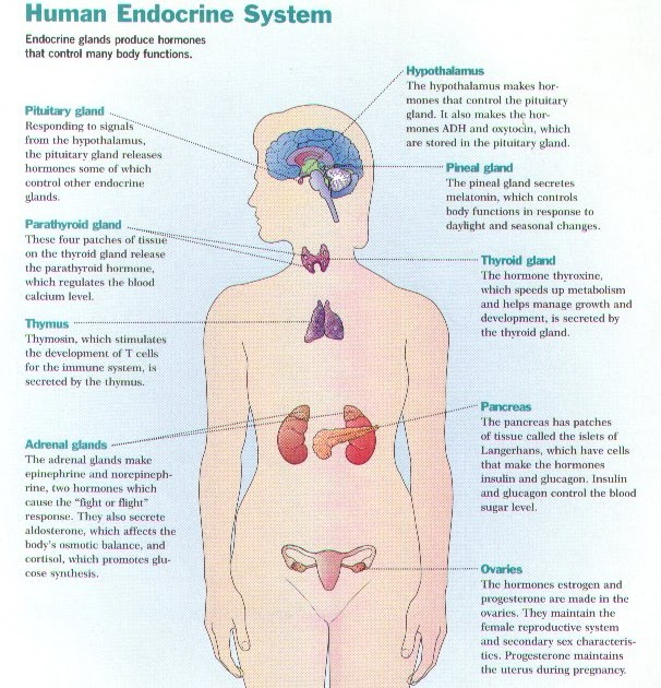 Brenda S A P Eportfolio Objective 14 Endocrine System