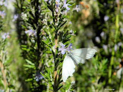 Δενδρολίβανο: σπορά φύτεμα καλλιέργεια