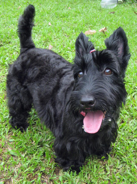 scotish terrier dogs music n more scottish terriers 4588