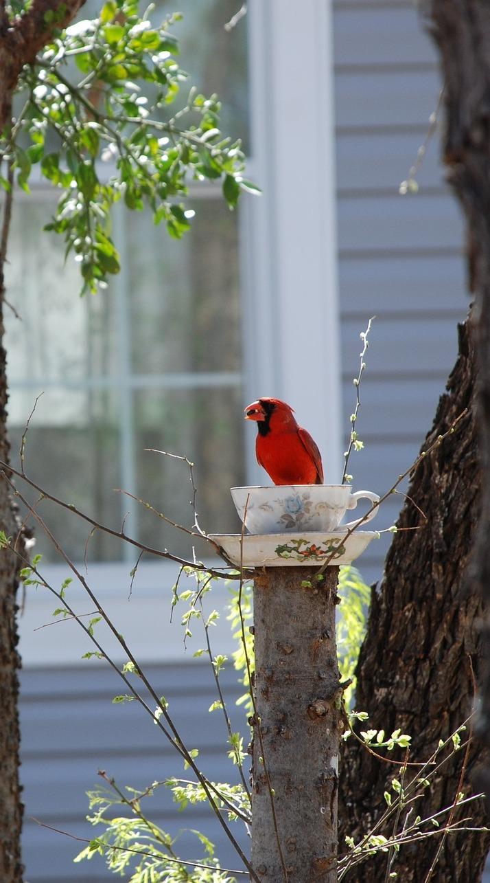 A red cardinal.
