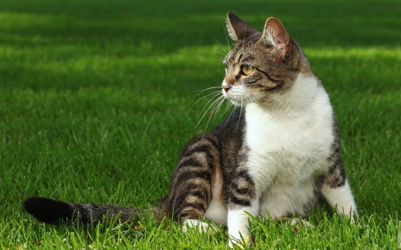 Hebatnya Si Kucing Kampung Fakta Kucing