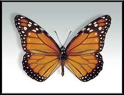 Mariposa monarca Danaus erippus