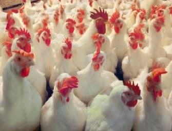 مشروع بيع دواجن- محل دجاج- محل بيع فراخ
