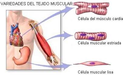 Y musculares contracciones sanguíneos vasos