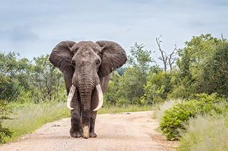 الفيلة.. لا تسمع من أذنيها فقط !