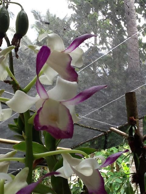 Bull-Orchid.jpg