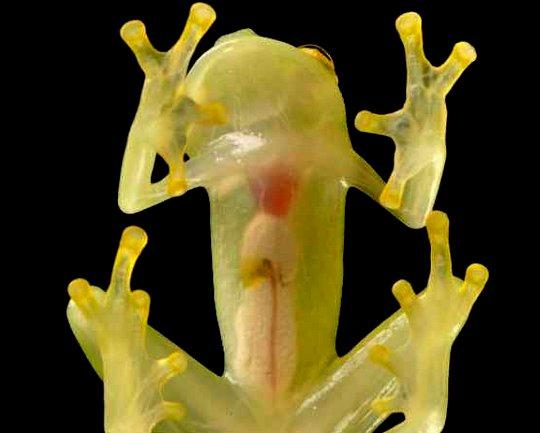 A perereca transparente foi encontrada na Região dos Andes.
