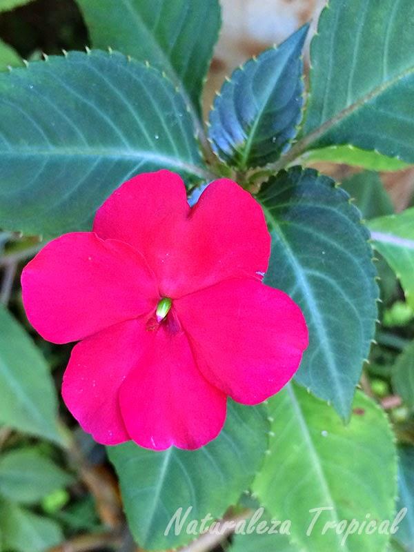 Variedad púrpura de la flor Madama