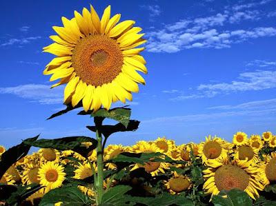 Hoa hướng dương đẹp nhất thế giới 24