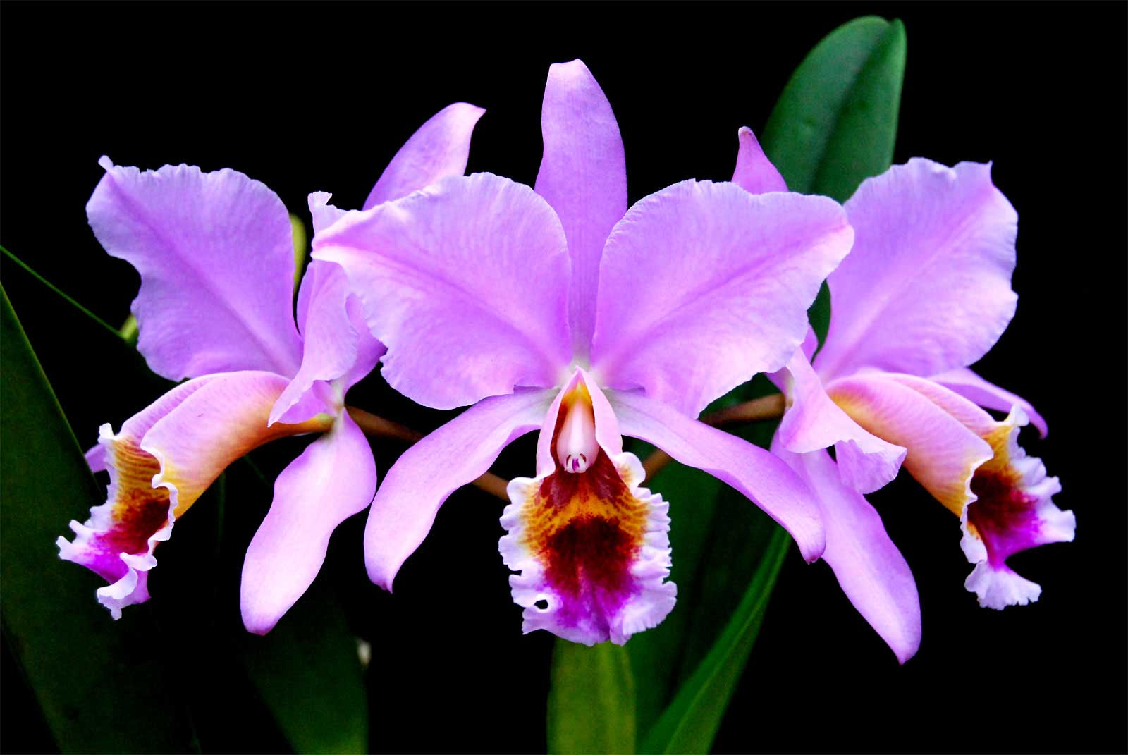 Cattleya Percivaliana Orchid Plant Care And Culture Travaldos Blog