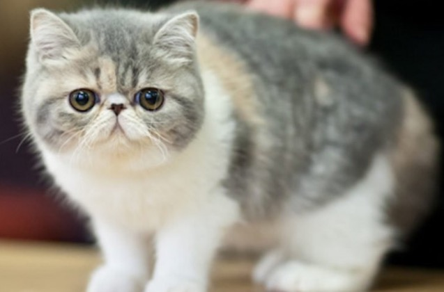 8 Baka Kucing Termahal Di Dunia