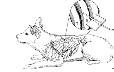 Teknik Operasi Thoracocentesis pada Hewan (Bedah Thoraks)