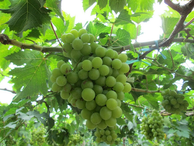 Discover Ninh Thuan vineyards in summertime 2