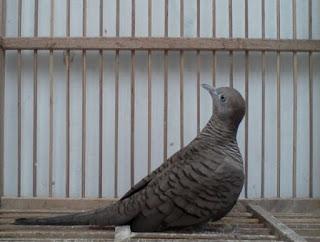 Foto Burung Perkutut Hitam Kol Buntet Keberuntungan Luck Gaib