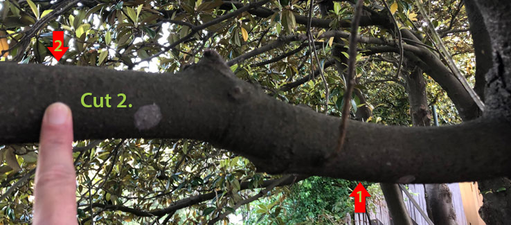 Tree compartmentalization after pruning cut number 2
