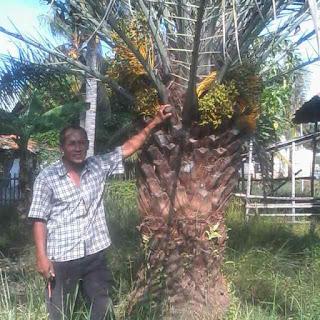 Pohon kurma berbuah