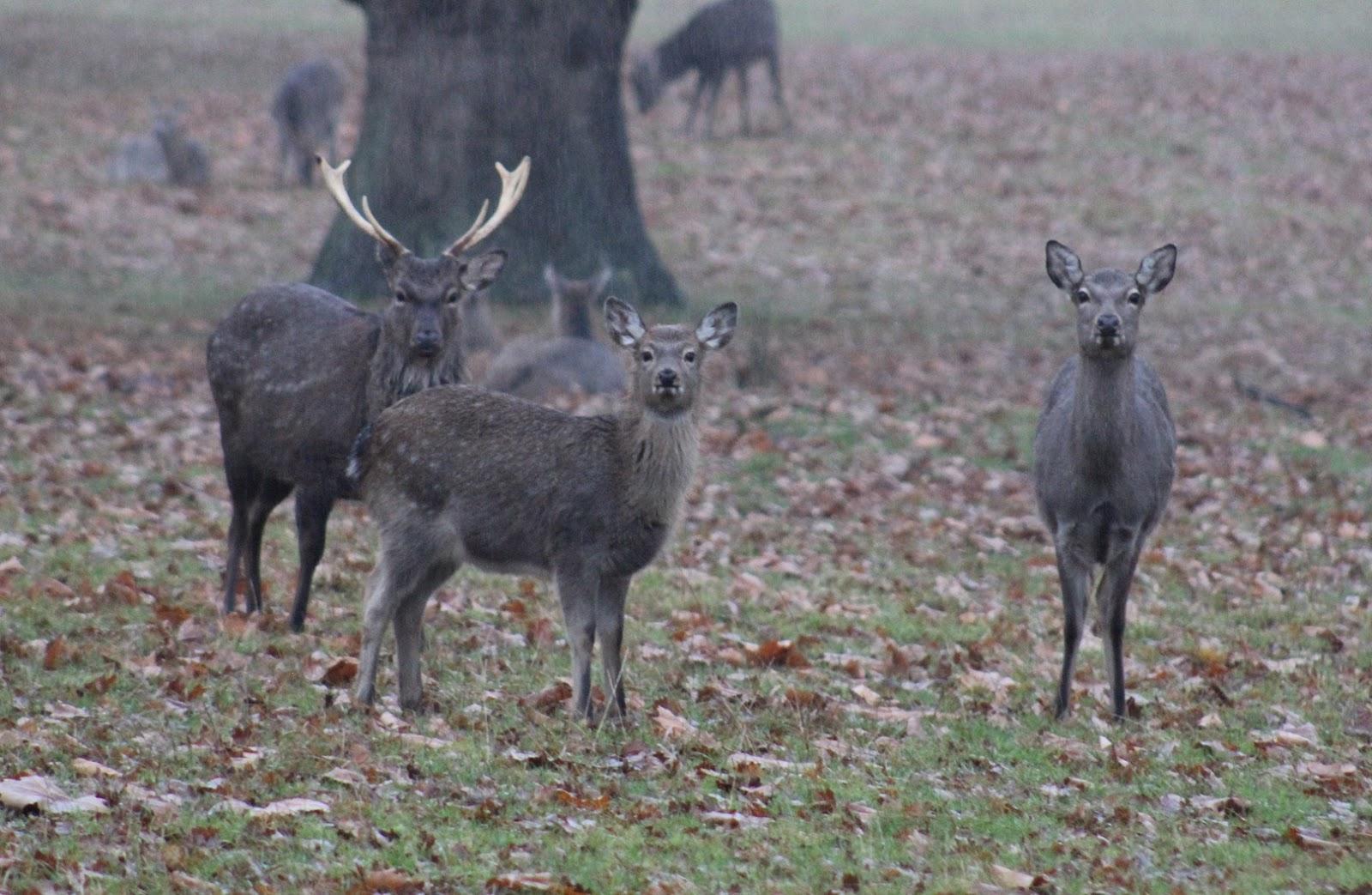 woburn-deer