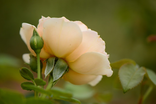 "rose ""Crown Princess Margareta"", david austin roses, amy myers photography, rose, english rose, small sunny garden"