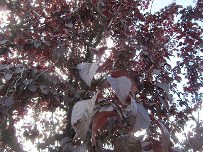 "Foglie Prunus cerasifera ""Nigra"""