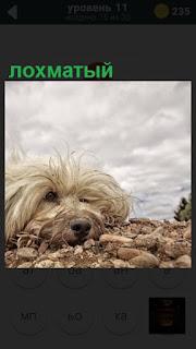 на земле в камнях лежит лохматый пес