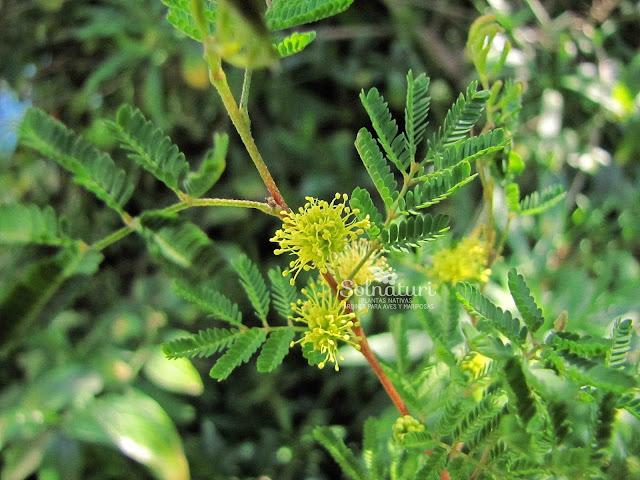 Mimosa bonplandii Rama negra