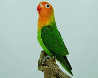 perawatan lovebird menjelang lomba,perawatan lovebird agar ngekek panjang,perawatan lovebird jawara,perawatan lovebird sebelum lomba,setelan lovebird untuk lomba,cara membuat lovebird fighter,