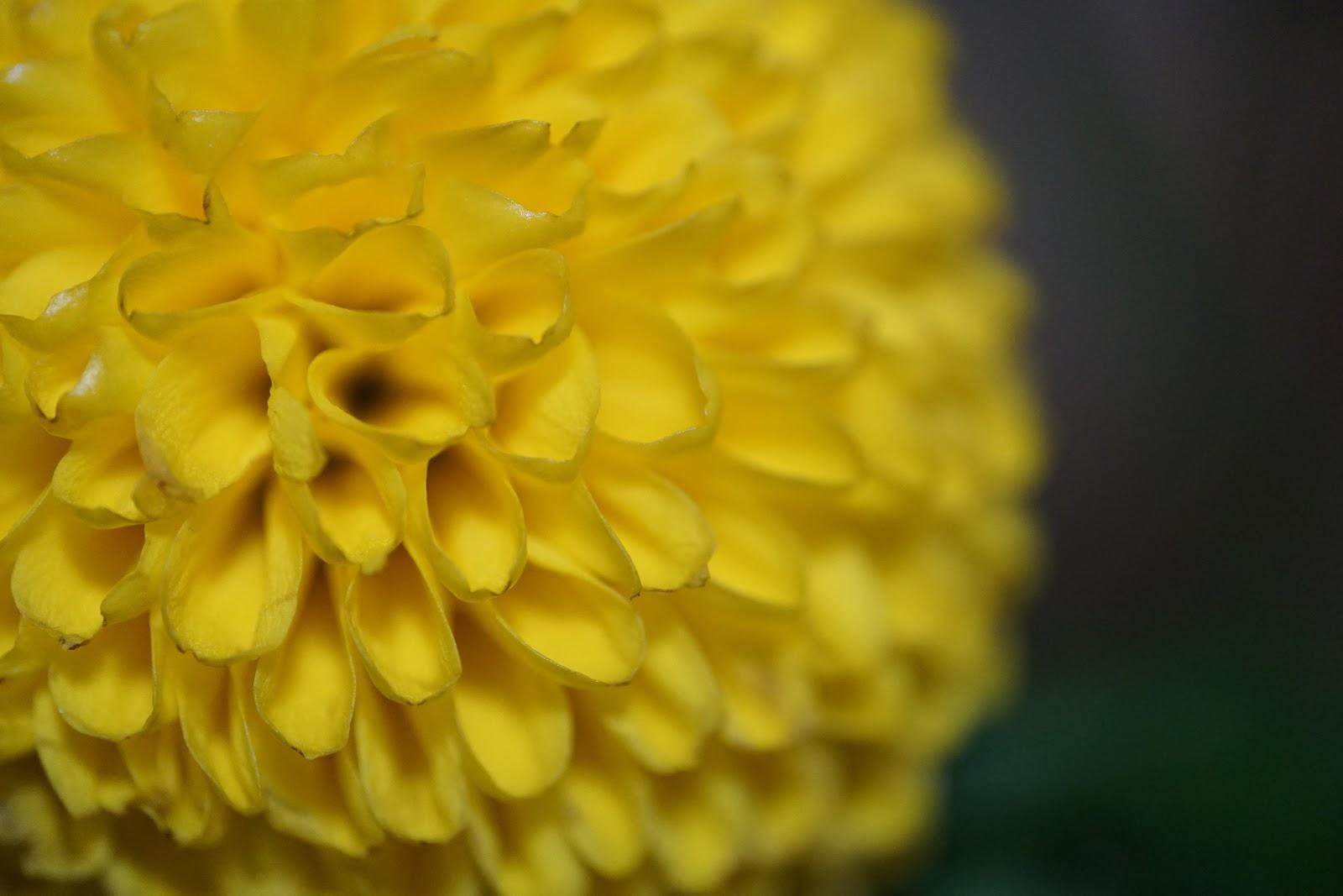 黄色の細かい花びらの真ん丸の花のマクロ撮影